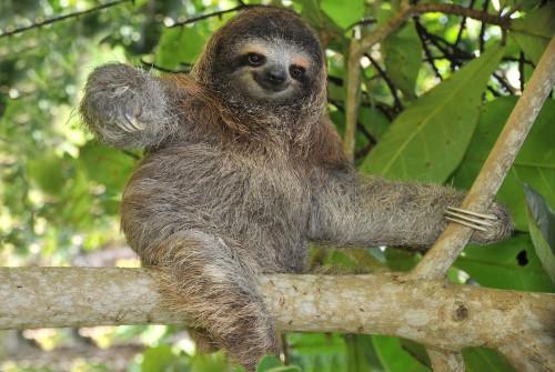 In den Naturschutzgebieten Costa Ricas haben Faultiere ihre Ruhe.