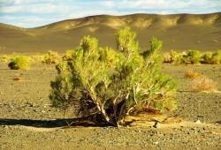 Saxaulpflanze