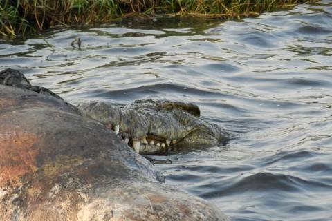 Auf dem Chobe konnte Steffi Brandenburg einem Krokodil beim Fressen zusehen.
