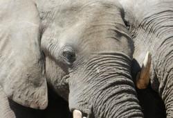 Brandenburg 08 Elefanten
