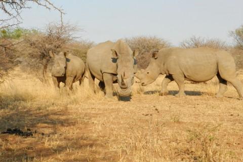 Nashörner im Marakele-Nationalpark