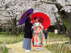 Japan zur Kirschblütenzeit