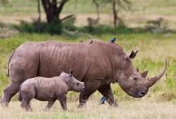 Eine Nashornmutter streift mit ihrem Kind durch die Savanne.