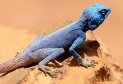 Mit Glück kann man im Dana Wildlife Reserve auf eine Blaue Agame treffen.