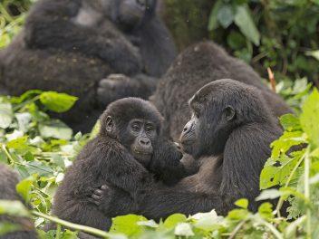 Abenteuer Berggorillas