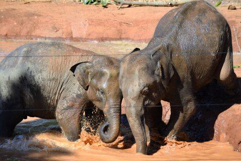 Verspielte Elefantenbabys