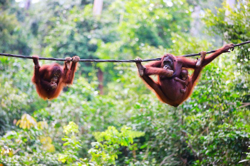 Hängende Orang-Utans